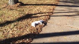 Jack Russell Terrier Dog Gets Pranked By Her Human Friends