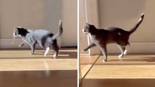 Cat hilariously shows how a walk of pride looks like