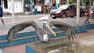 Pelican lifts off gracefully from Galapagos Island fish market counter top