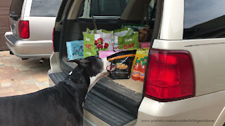 Clever Great Dane chooses chicken fingers from trunk full of groceries