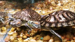 Epic turtle fight in slow motion