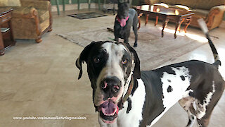 Funny Bouncing Great Dane Photo Video Bomber