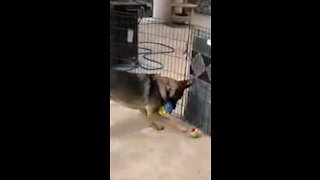 Adorable dog likes to play soccer with tennis ball!