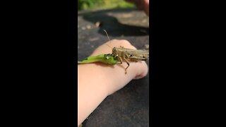 Holding a Grasshopper while it eats a green bean
