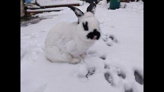 Panda Face Bunny Walking In Snow