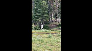 Extremely rare white grizzly bear