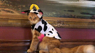 """Cat looks """"udderly"""" fantastic In Halloween cow costume"""