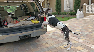 Great Dane Can't Wait To Help With The Groceries