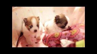 cute puppy playing rock paper scissor