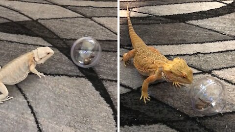 Bearded Dragons experience new toy ball for the first time