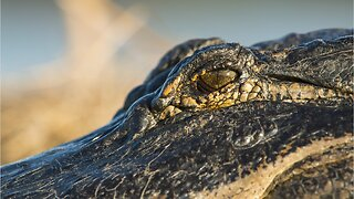 Alligator With Knife Stuck In Head Seen In Lake In Texas