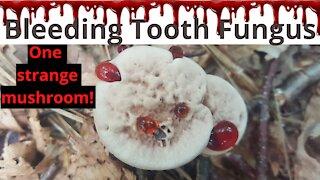 Bleeding Tooth Fungus, one strange mushroom that appears to ooze blood.