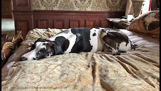 Funny Cat Swipes Great Dane's Spot On The Jumbo Dog Bed