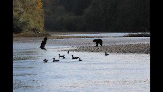 Coastal Black Bear Hunting - Fall