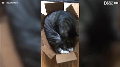 Gato tenta dormir em caixa demasiado pequena