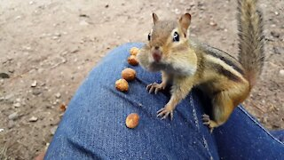 Chipmunk eats peanuts up close