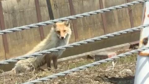 Meeting Cute Wild Fox on the Road