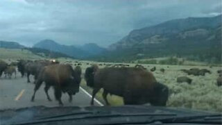 Bison herd invades road and stops traffic