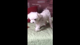 dog plays with itself