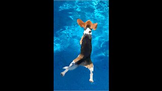 Snoopy has short legs for swimming
