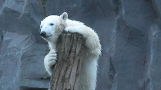 Compilation of zoo animals trying to scratch their itches