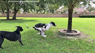 Funny Barking Great Dane Guard Dog Loves To Run Zoomies