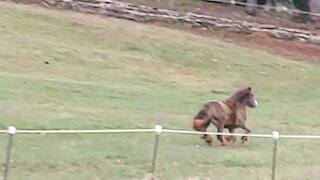 Gypsy Colt Quiggly Running