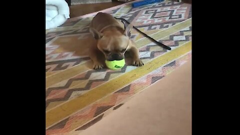 French Bulldog makes himself how with squeaky toy