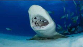 Tubarão tem os dentes limpos por outros peixes