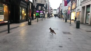 Wild fox spotted on Grafton Street in Dublin, Ireland