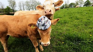 Cow is very curious about her friend's new hat