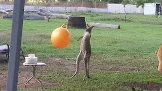Kangaroo really loves its toys