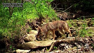 Experts debunk myths on coyotes