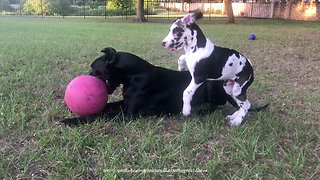 Comical Great Dane Puppy Swipes Jolly Ball