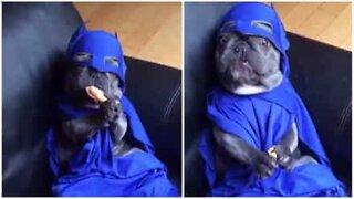 Denne bulldog klædt som Batman, er det bedste du kommer til at se idag