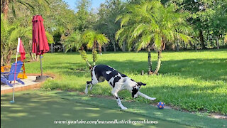 Funny Great Dane Plays Soccer On The Golf Green
