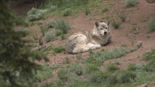Trump administration lifts endangered species protection for wolves