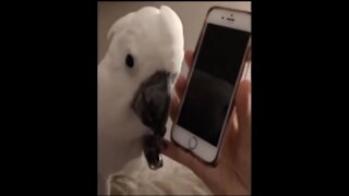 parrot talking on the phone ..... very funny