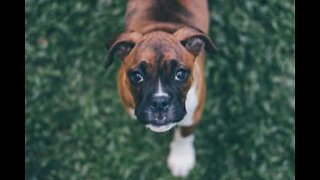 Boxer dog devours whipped cream in delicious slow-mo!
