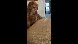 Golden Retriever has fun chasing something he'll never catch