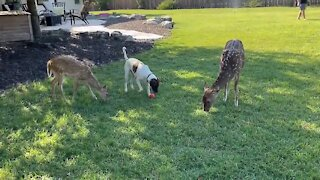 Silly dog decides to graze with his deer friends