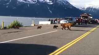 Mama Bear and four cubs Crossing Road in Public