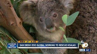 San Diego Zoo Global working to rescue koalas