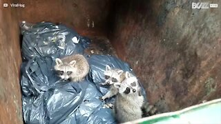 Babyvaskebjørner funnet i søppeldunk i New York