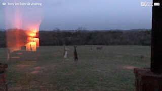 Deer battle it out in epic boxing match