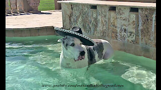 Great Dane Enjoys Cinco De Mayo Dipping And Sipping In The Pool