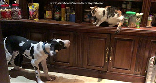 Cats escape overly-affectionate Great Dane puppy