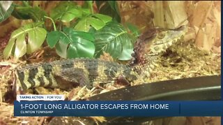 Foot-long alligator escapes from Clinton Twp home
