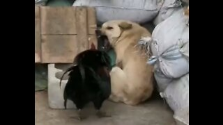 Chicken is fighting with dog.