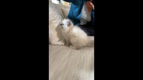 Ragdoll kitten stars in a commercial!